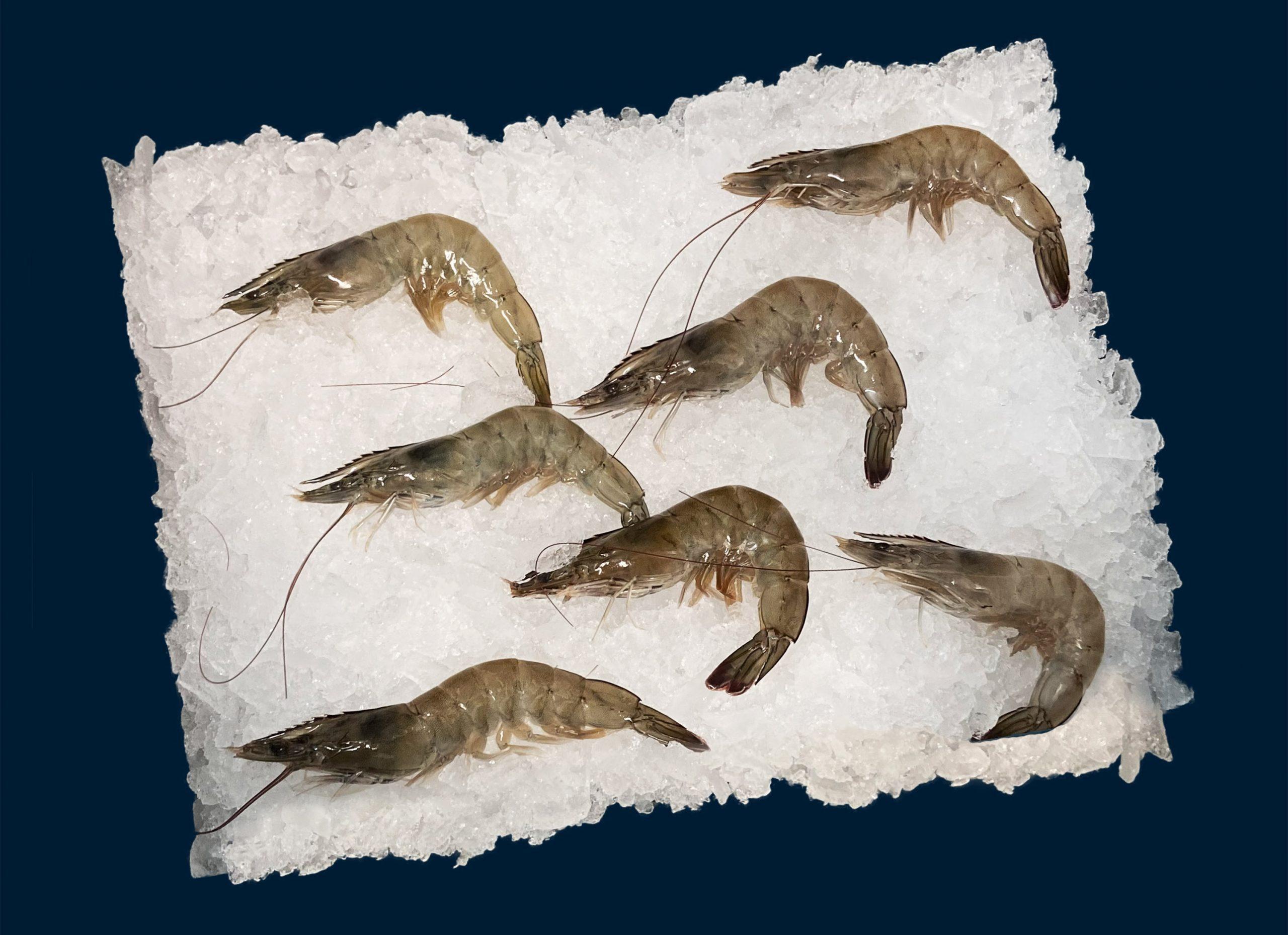 Neue-Meere-Garnele1